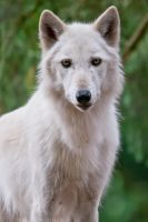 White Wolf 0703 by robbobert