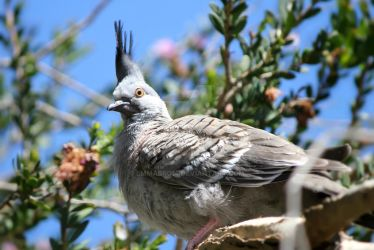 Baby Creseted Pigeon by Emmabro14