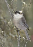 Canada Jay - Looking Outwards by JestePhotography