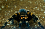 Mexican Red Knee 2 by Amarantheans
