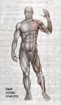Male Human Anatomy by kiedan