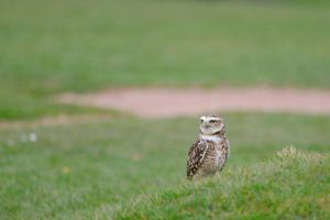 The burrowing owl (Athene cunicularia) by jon-hill987