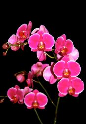 Pink Orchid by Dirks10