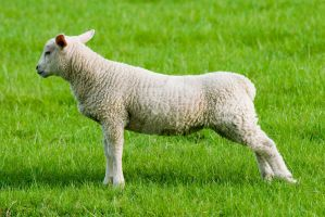 Sheep by tpphotography