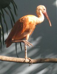 The Ibis by Xombiecats