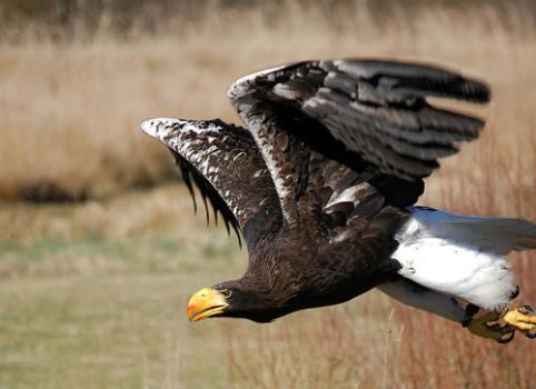 Whitetaled eagle by Natrich