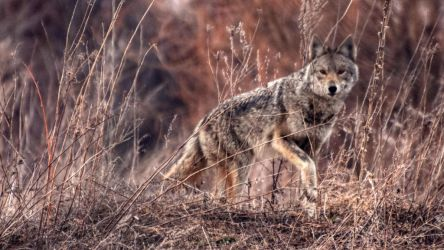 Coyote by Aliuh