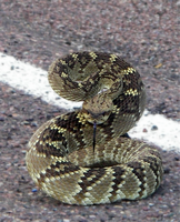 Blacktail Rattler by S-h-a-d-o-w-7
