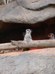 Looking Out, Meerkat #1 by wolfleopard72