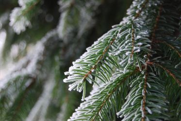 White on the Evergreen by hoogathy