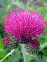 Marsh Thistle by Iris-cup