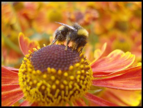 Bee on Helenium by Dragonrider4000