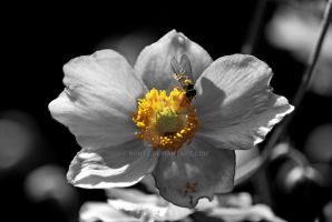 Hover fly - in flower - BW by rontz