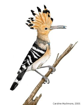 Happy Hoopoe by autumn-rains