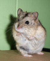 Hamster VI by KW-stock