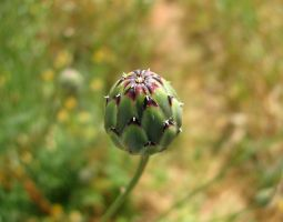 Dagger Flower Bud 2 by dracontes