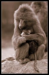 Baboon and Baby by Prince-Photography