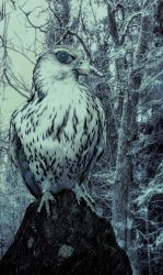 Falcon of Winter by Shadow-of-Nemo