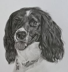Commission - Springer spaniel 'Monty' by Captured-In-Pencil