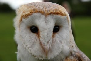 Barn Owl Nim by cycoze
