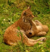 lynxes by moussee
