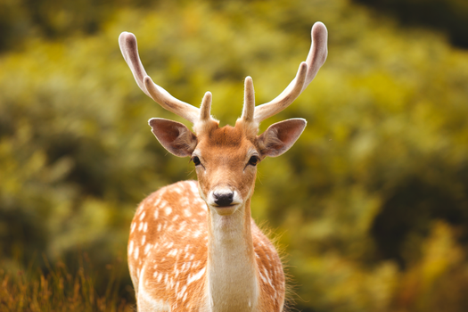Fallow Deer at Bradgate park by JSWoodhams