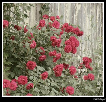 Red roses by VasiDgallery