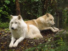 Arctic Wolves by xCrystals