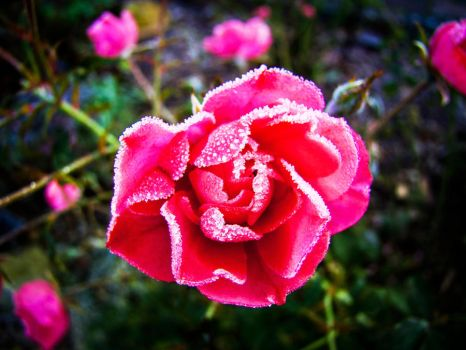 Cold Roses Mark 1. by YagersArt