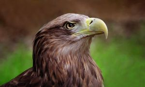WHITE-TAILED SEA EAGLE by Yair-Leibovich