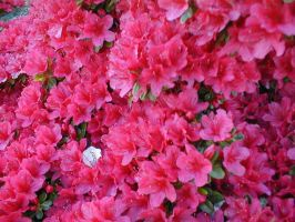 stock azaleas by angstforless