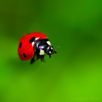 Une merveille de Coccinelle by Somebody--else
