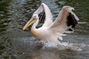 Pelican by Fotostyle-Schindler