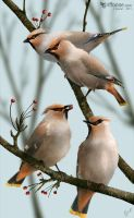 Waxwings by joanniegoulet