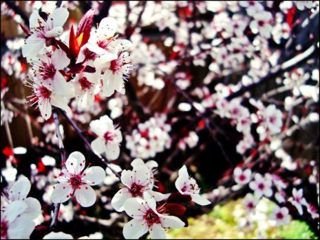 Cherry Blossoms by Iadinea