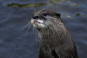 Whiskers by carterr