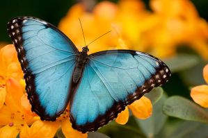 Peleides Blue Morpho by Destined2see