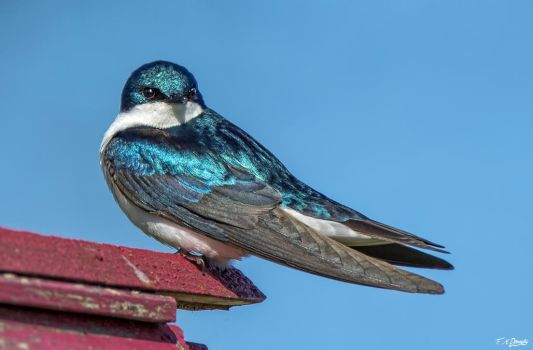 Tree swallow 8 by Nini1965
