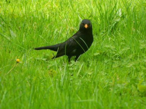Blackbird in the grass by silviubacky