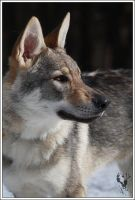 Czech wolfdog - Aschere 7 by Blondlupina