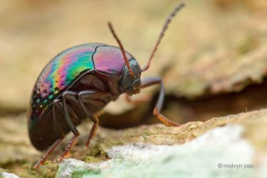 Darkling beetle Amarygmus sp. by melvynyeo