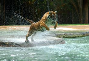 Tiger - A powerful animal by Chunga-Stock
