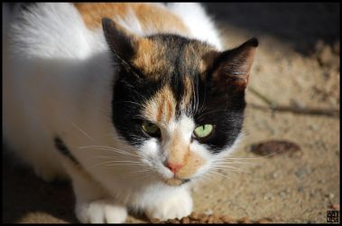 Calico Kitty by MauserGirl