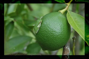 Frog on Lemon. by witheredrose