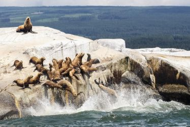 Seal Launch by Nosdi