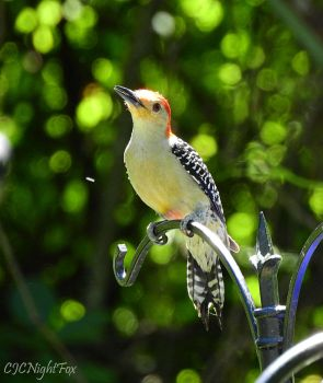 Aspen the Red-bellied Woodpecker by CJCNightFox