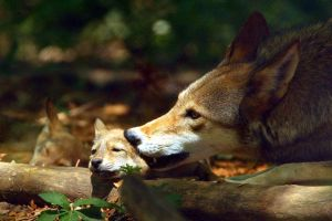Chewing by Wolf-Lovers
