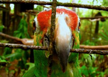 A Parrot in Cayo by fablehill