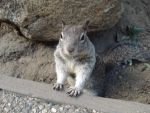 Yosemite Squirrel by almostexpelled