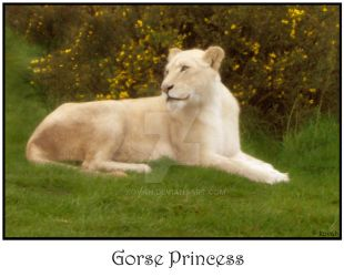 Gorse Princess by kovah